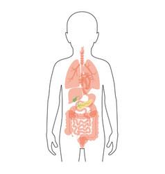 Pancreas an human body vector