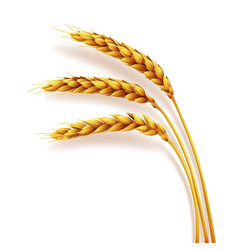 Realistic ears wheat isolated agriculture vector