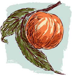 Sketch a ripe peach vector