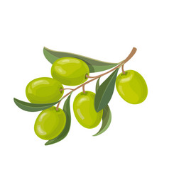 olive fruits and leaves on a branch isolated vector image