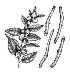 Ashwagandha medicinal plant and roots vector