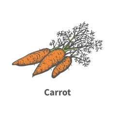 Hand-drawn carrots with tops vector