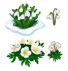 snowdrops peeping out of snow and white flowers vector image