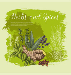 sketch poster of spices and herbs vector image vector image