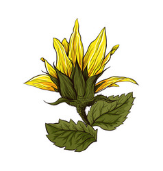 sunflower realistic hand drawn vector image