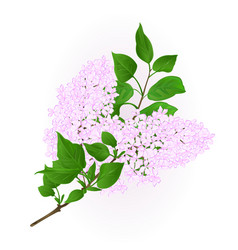 Lilac white twig with flowers and leaves vintage vector