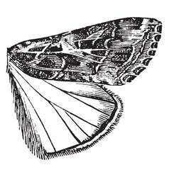 Owlet moth vintage vector