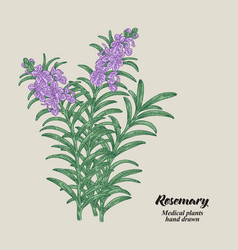 rosemary branch with leaves and flowers medical vector image