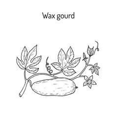 Wax gourd benincasa hispida or ash pumpkin vector