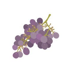 a bunch of grapes isolated vector image