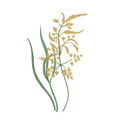 Kentucky bluegrass flowers isolated on white vector