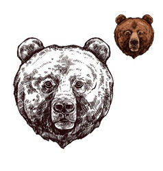 bear or grizzly animal sketch of wild predator vector image