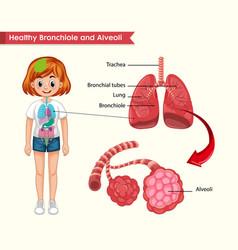 Scientific medical healthy lungs anatomy vector