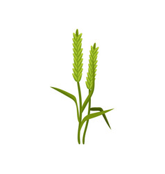 Two spikelets of barley with green leaves cereal vector