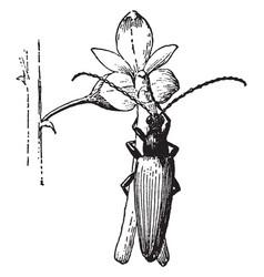 Beetle on flower vintage vector