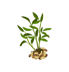 Bush of peanut with bright green leaves natural vector