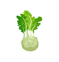 kohlrabi with bright green leaves turnip cabbage vector image