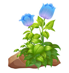 Blue tulip flowers and rocks on white background vector