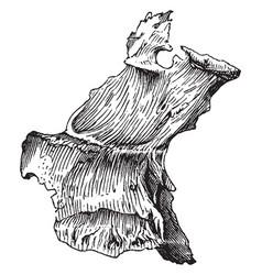 Human palate bone vintage vector