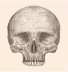 Human skull drawing vector