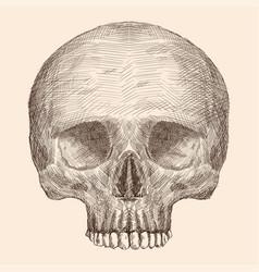 human skull drawing vector image
