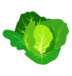 green cabbage isolated white vector image