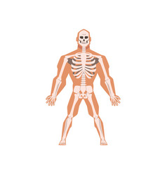 Human biological skeletal system anatomy of human vector
