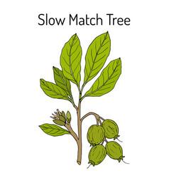 Slow match tree careya arborea medicinal plant vector