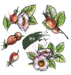dog rose hand drawn set vector image