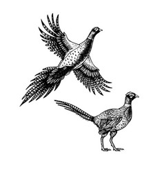 Hand drawn pheasant skethes of birds vector