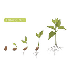 Plant growth phases stages flat vector