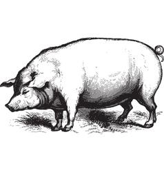 Swine vector image