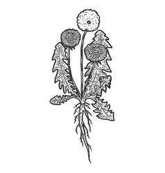 Botany dandelion plant with root isolated object vector