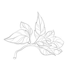 a sprig of basil a bunch vector image