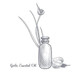 Drawing garlic essential oil vector