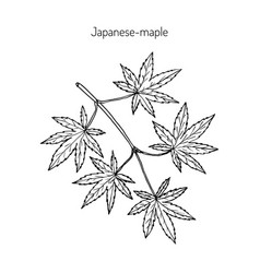 Japanese-maple vector