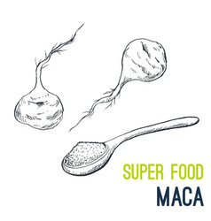 maca root super food hand drawn sketch vector image