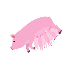 pig feeding piglets flat vector image