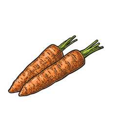 Two carrots color vintage engraved vector