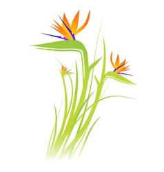 Bird paradise flower strelitzia vector