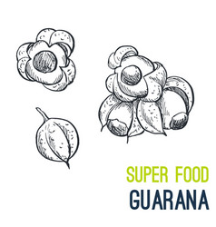 Guarana super food hand drawn sketch vector