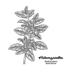 hand drawn ashwagandha medical plant isolated on vector image