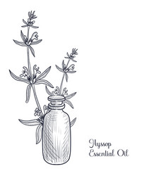 Drawing hyssop essential oil vector