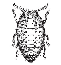 grape gall louse vintage vector image
