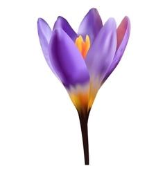 Violet crocus vector