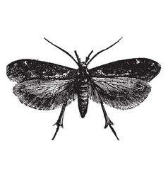 dorsal view of gall moth vintage vector image