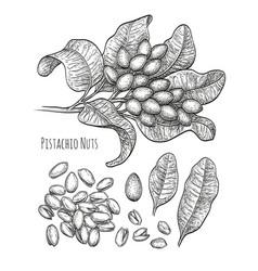 pistachio nuts set vector image