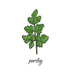 Flat cartoon sketch hand drawn parsley vector