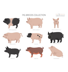 Pig breeds collection 3 farm animals set flat vector