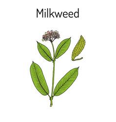milkweed asclepias syriaca medicinal plant vector image
